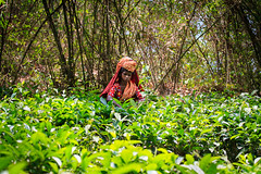 Tea Garden worker (SBH Sahal) Tags: green women adult working lifestyle teagarden finance sahal earning matureadult globalbusiness onewomenonly syedbadrulhussain sbhsahal