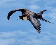 Belize Female Magnificent Frigatebird 2 (mastrfshrmn) Tags: ocean sea male bird beach heron water birds female belize wildlife flight royaltern pelican grackle palm chick cormorant belizecity greattailedgrackle frigate juvenile tern brownpelican osprey frigatebird bluehole centralamerica redfootedbooby clapperrail doublecrestedcormorant littleblueheron doublecrested redfooted magnificentfrigatebird tropicalmockingbird boobey turneffeatoll blackbirdcayeresort fedfootedbooby