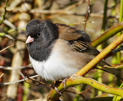 Dark-eyed Junco (TOTORORO.RORO) Tags: park camera bridge portrait canada bird sports nature dof bc zoom action bokeh britishcolumbia sony cybershot super richmond marsh alpha naturepark darkeyedjunco juncohyemalis carlzeiss greatervancouver variosonnar mirrorless hx300 dschx300 dschx300b