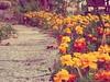 100_1265_zps4bcac8bc (monsieur_panda) Tags: red orange flower color colour green nature fleur leaf colorful jardin environment colored couleur gravel gar feuille environnement gravier chromatique