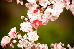 IMG_4874 (Thomo13) Tags: park flowers japan canon cherry eos tokyo spring shinjuku blossom mark ii 桜 sakura 5d 新宿御苑 gyoen hanami 2013 櫻さくら gettyimagesjapan13q1