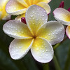 happy holidays!!! (_aires_) Tags: macro canon droplets drops plumeria bokeh aires 100mm gotas frangipani suche limaperu 50d ires macrolicious imagepoetry canoneos50d canon50d awesomeblossoms oracope canonef100mmf28lmacroisusm sublimeflowershot blinkagain