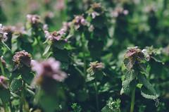 weeds of spring (Brandy Jaggers) Tags: digital experiments nikon grain editing edit matte underexposed lightroom 50mmf14g vsco d7000