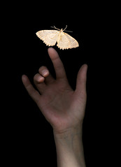 Finger of a hand just touching edge of a moth (Marlene's photography) Tags: life stilllife beautiful vertical blackbackground bug insect hand finger touch moth studioshot senses delicate fragile bodypart touching gentle fragility arcangelimages marleneford