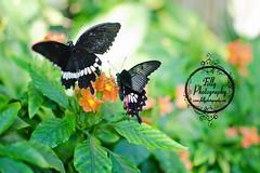 {13/52} In Motion (MistyHudson) Tags: butterfly wings flight butterflies butterflypavilion 52weeks denverbutterflypavilion follyphotography
