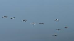 Lepelaars (nikjanssen) Tags: nature birds lepelaar uitkerksepolders olympusomd olympusomzuiko4200 euraseanspoonbill
