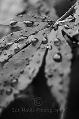 Japanese Maple in B&W (Bob Noble Photography) Tags: bw monochrome canon japanese leaf maple gray b7w waterdrops bobnoblephotography japanesemapleinbw