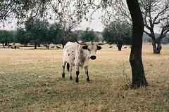 Ranch (jchal) Tags: ranch trees film grass cattle kodak tx peak overcast iso electro 100 longhorn gsn 35 yashica ektar granbury comanche