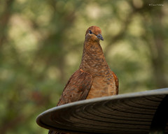 Brown Cuckoo-Dove (loobyloo55) Tags: brown green bird birds bronze wildlife birdaustralian browncuckoodove macropygiaamboinensisaustraliaaustralian
