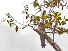 Ibijau gris / Common potoo - Sleeping (mitch099) Tags: costa bird nature rio gris rica mangrove common oiseau osa sierpe potoo ibijau micheleamyot mitch099