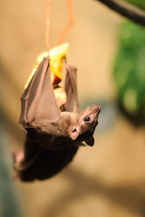 Fruit Bat Hanging and Eating (Eric Kilby) Tags: park boston fruit zoo franklin wings eyes eating bat hanging fruitbat