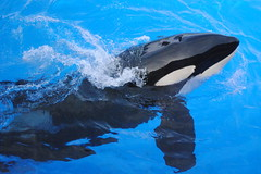 Ikaika (EchoBeluga) Tags: san feeding diego killer whale orca seaworld shamu