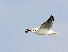 Brown-headed Gull, Chroicocephalus brunnicephalus (prasanth2406) Tags: portrait india color nature water photography nikon colorfull wildlife gull indian national catch nikkor dslr chennai nationalgeographic innovative prasanth brownheaded nikor nikondslr indianbirds nikon70300 brownheadedgull larusbrunnicephalus chennaibirds chroicocephalus chroicocephalusbrunnicephalus brunnicephalus d3100 prastography prasanthphotos