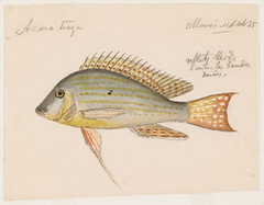 Geophagus altifrons (Maues, Brazil) (The Ernst Mayr Library) Tags: brazil fish cichlidae perciformes geophagus jacquesburkhardt eartheater scientificdrawings thayerexpedition taxonomy:binomial=geophagusaltifrons