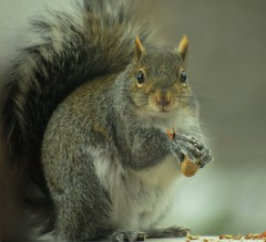 ~Excuse me...can you point out the way to spring?~ (nushuz) Tags: ngc explore charlie bushytail graysquirrel cuterthancute lookingforspring whatasweetface holdingapeanut whereisspringandwhatwasupwithyesterdayssnow goingtobe72onthursday