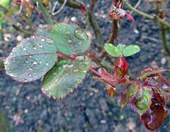 Rain splatted rose leaves2 (Daisy Waring World) Tags: waterdroplets rosebuds roseleaves