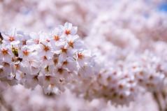 cherry blossom (SILENCE Vincent) Tags: japan kyoto   cherryblossom  sakura    kyotoprefecture