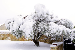 Olive Tree covered in snow (Ben Unleashed!) Tags: winter white snow cold ice israel january covered olivetree haradar pentaxkr