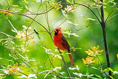 Cardinal A 01 (Jim Dollar) Tags: birds nc cardinal greensboro redbird boggarden jimdollar canon6d