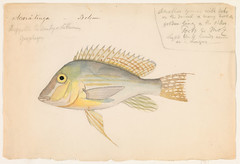 Geophagus altifrons (Belem, Brazil) (The Ernst Mayr Library) Tags: brazil fish cichlidae perciformes geophagus jacquesburkhardt eartheater scientificdrawings thayerexpedition taxonomy:binomial=geophagusaltifrons