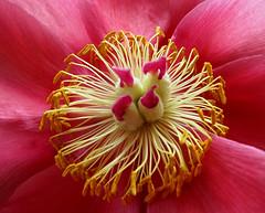 Oh, peony, you're so pretty (dorrisd) Tags: pink flowers holland macro fleurs petals spring flora blumen peony stamen fiori lente geel bloemen peonies roze zuidholland pivoine stampers pfingstrose voorjaar peonia pistils pioenroos bloemblaadjes meeldraden naturesharmony canonpowershotsx10is dorrisd mienekeandewegvanrijn