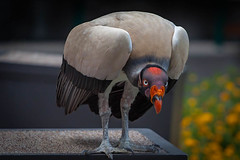 taking a bow (jimmy_racoon) Tags: 70200 f4l is canon 5d mk2 vulture birds scavenger 70200f4lis canon5dmk2 king
