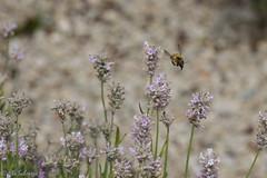 IMG_4892 (ElsSchepers) Tags: limburglavendel lavendelhoeve stokrooie kuringen hasselt natuur vlinders
