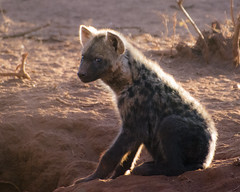 Hyena Pup (Cocoabiscuit) Tags: cocobiscuit d7100 18300mm southafrica kwazulunatal phinda game wildlife africa hyena younganimal