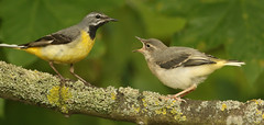 Dad and baby, Grey Wagtail  (Motacilla cinerea).. (Sandra Standbridge.) Tags: dad parent baby youngster greywagtail animals animal wildandfree outdoor perched feeding lichen branch motacillacinerea