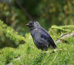 jackdaw (2) (Simon Dell Photography) Tags: jackdaw black bird castleton derbyshire peak district national parks mam tor vilage english countryside views landscapes awsome summer green land nature wildlife coot win hill pony shetland simon dell photography pentax k50