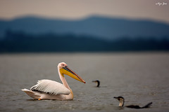 Pelican at Lake Naivasha (V I J U) Tags: africa travel sunset lake nature birds kenya dusk wildlife pelican safari ke canon5d cormorant nakuru waders 2016 lakenaivasha karagita ef500mmf4lisii vijujose