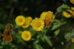 dahlberg daisy (Duncan.B) Tags: flora flowers wwtbarnes samsungnx samsung nx10 daisy dahlbergdaisy