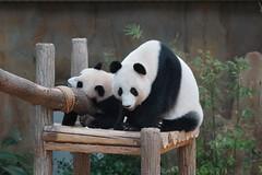 Nuan Nuan (暖暖) and mother Feng Yi aka Liang Liang 2016-06-17 (kuromimi64) Tags: zoonegara malaysia マレーシア 動物園 zoo nationalzoo zoonegaramalaysia kualalumpur クアラルンプール bear クマ 熊 panda giantpanda パンダ ジャイアントパンダ 熊猫 大熊猫 nuannuan 暖暖