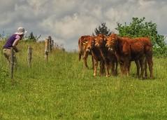 Say 'cheese' (mheckerle) Tags: cow kuh khe 2016 natur farm nature animals landscape landschaft landwirtschaft rinder hessen hesse germany
