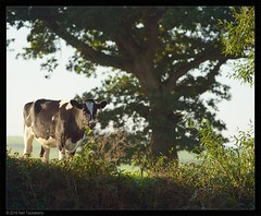 morning graze (Neil Tackaberry) Tags: morning early dawn daybreak cattle bovine bullock farm animal tree county co kerry countykerry cokerry sunrise irish farming ireland agriculture countryside rural eating feeding aug august 2016 graze grazing