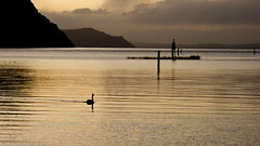 Motuoapa - Lake Taupo and Swans in the Dusk 4 (C & R Driver-Burgess) Tags: swans swimming silhouette caldera dusk evening twilight reflection ripples reeds post pole sign dark hills lake shore