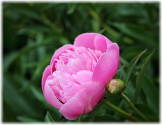 Sonnenberg Gardens & Mansion Historic Park ~ Canandaigua NY ~ Pink Flower
