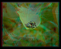 The Great Escape - Anaglyph 3D (DarkOnus) Tags: pennsylvania buckscounty lumix panasonic dmcfz35 3d stereogram stereography stereo darkonus closeup macro insect popillia japonica mating japanese beetles great escape anaglyph ttw hyperstereo hyper broken window