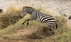 Zebra Scrambles up Slope after Crossing Mara River (John Hallam Images) Tags: zebra scrambles slope crossing mara river marariver masaimara kenya safari