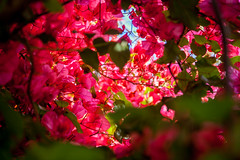Blowsom bougainvillea (Natalia Bolshakova) Tags: bougainvillea flowers flower bougainvilleas blowsom spring light