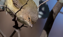 weebill (Smicrornis brevirostris)-7616 (rawshorty) Tags: rawshorty birds canberra australia act campbell