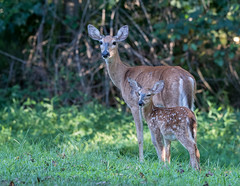 White Tail Doe and Fawn (jerryherman1) Tags: whitetail doe fawn maryland deer wildlife