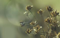 Surrender (charhedman) Tags: driedplant age driedflowers light macro bokeh surrender