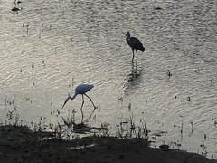 Grey heron () and great egret () (Greg Peterson in Japan) Tags: ritto shiga yasugawa rivers japan wildlife birds yasu egretsandherons deba shigaprefecture jpn