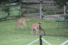 IMG_0106 (thinktank8326) Tags: deer fawn babyanimal babydeer whitetaileddeer