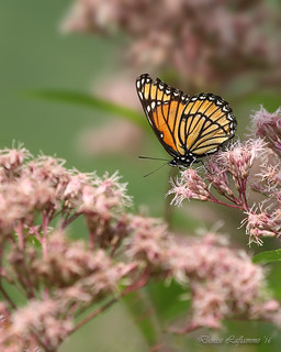 1E1A8543-DL   -   Papillon monarque / Monarch butterfly.