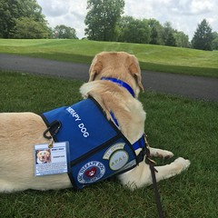 Calvin finds some shade at the HDI Golf tournament (hero dogs) Tags: golf tournament dog labrador cute therapydog servicedog