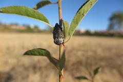 Capnodis tenebrionis (esta_ahi) Tags: capnodis tenebrionis capnodistenebrionis buprestidae coleoptera plaga almendro gusanocabezudo vilafrancadelpeneds barcelona spain espaa