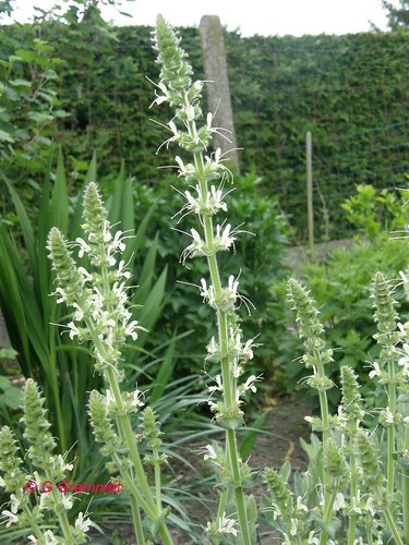 Salvia-austriaca1