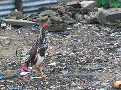 La lucha por sobrevivir (lincesagrado) Tags: barranquilla colombia basura gallo comida cock trash food urban crudo